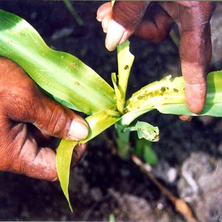 A problem demanding a solution. One of the major limiting factors in crop production in Asia is the heavy infestation of the corn borer, Ostrinia furnacalis, yielding a 30-40% reduction of productivity. This pest already limits the food production in several asiatic countries and has a significant impact on the development of the region.