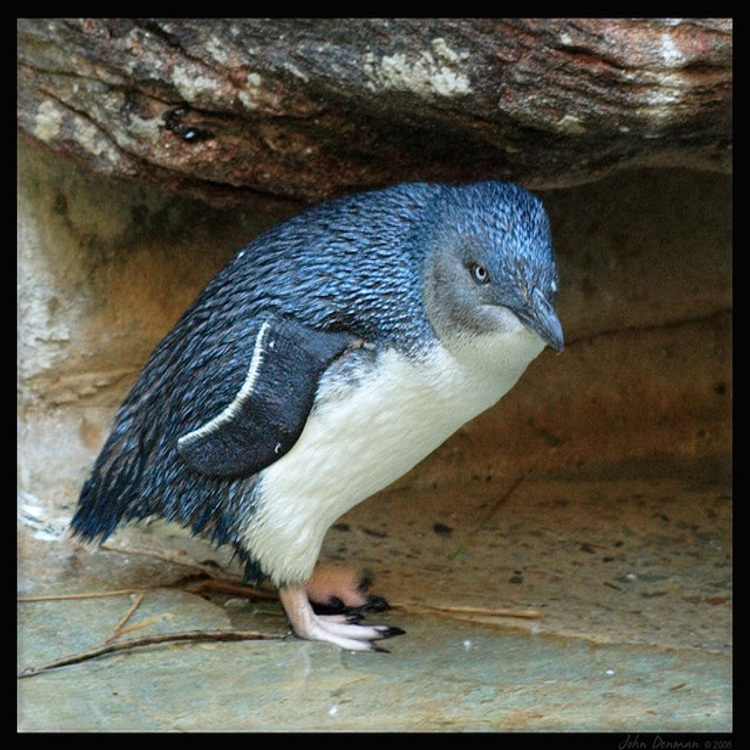 A Fairy Penguin. Fairy Penguins live along the coastline of Southern Australia and New Zealand. They are the world's smallest penguins and their feather barbs have characteristic blue shades.