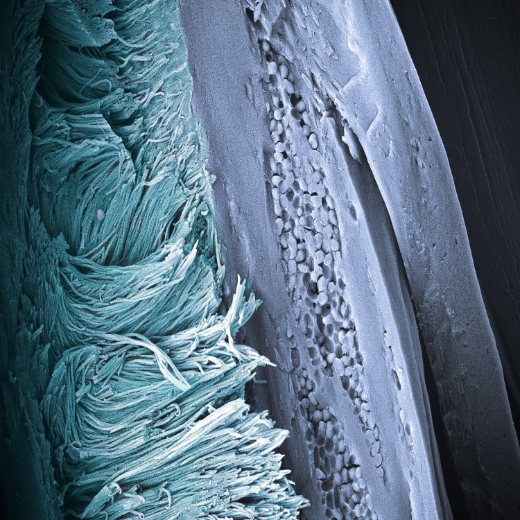 Arrays of keratin nanofibers. A close up of a Fairy Penguin's feather barb. The keratin nanofibers produce the characteristic non-iridescent blue color by coherent light scattering and constitute a novel morphology for feathers.