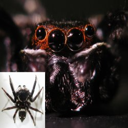 Jumping spider and its 4 eyes. A jumping spider (<i>H. adansoni</i>) has well-developed camera-type eyes, seemingly like human eyes. This is in striking contrast to the compound eyes &mdash; eyes made of many small and simple photoreceptors &mdash; of other arthropods such as shrimps and insects.