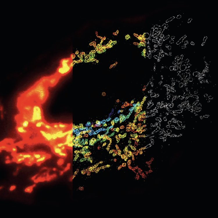 STORM vs. Fluorescence Microscopy. Mitochondrial network in a mammalian cell visualized by 3D STORM. Conventional fluorescence image (left), 3D STORM image with colors denoting z location (middle) and single xy cross-section from the 3D STORM image (right).